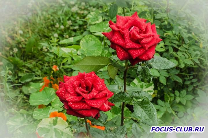 Мой первый Блин ... - розы.jpg